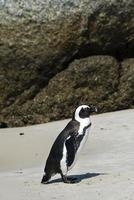 pinguini africani sulla spiaggia di massi