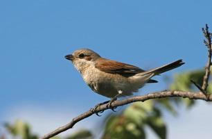 Shrike sostenuto da rosso seduto su un ramo