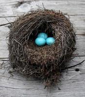le uova di pettirosso in un nido foto