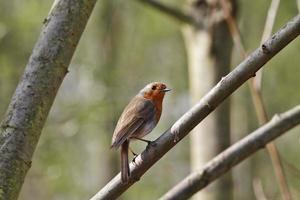 robin erithacus rubecula dal petto rosso in primavera foto