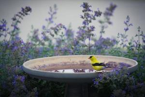 cardellino americano su birdbath foto
