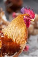 gallo rosso foto