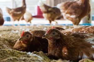 galline di razza di uova foto
