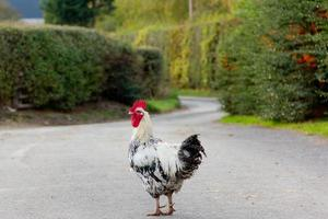 perché galletto / gallo hanno attraversato la strada? foto