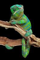 camaleonte avvolto intorno al ramo