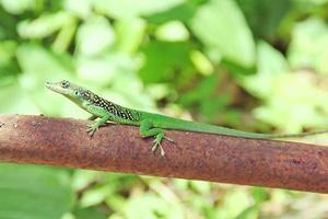 lucertola verde foto