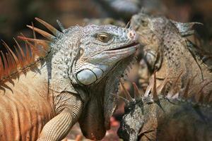 iguana maschio