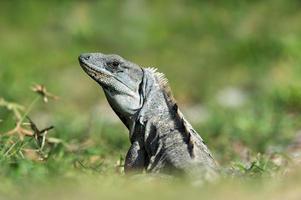 iguana dalla coda spinosa (ctenosaura similis) foto