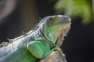 iguana verde femmina