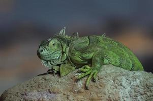 grande lucertola verde che si siede su una roccia
