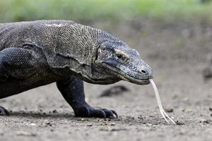 drago di Komodo, varanus komodoensis foto