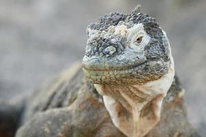 Iguana terrestre selvaggia foto