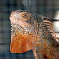 iguana rossa foto