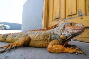 giovane iguana maschio colorata
