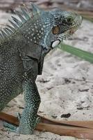 macro del ritratto della lucertola di iguane, primo piano foto