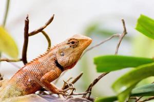 lucertola tailandese marrone sull'albero