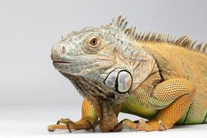 iguana verde del primo piano su fondo bianco