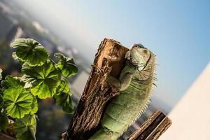 Iguana strisciando su un pezzo di legno e in posa foto