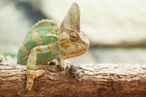 lucertola camaleonte velata foto
