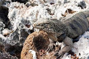 iguana di roccia cubana (cyclura nubile). foto