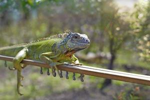 l'iguana foto