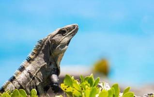 iguana messicana foto