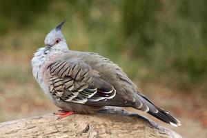 piccione crestato (ocyphaps lophotes) foto