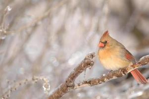 femmina cardinale foto
