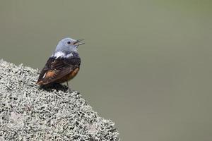passero solitario, saxatilis monticola foto