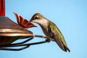 colibrì dalla gola di rubino foto