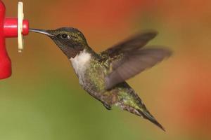 colibrì dalla gola di rubino (archilochus colubris)