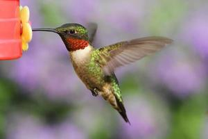 colibrì dalla gola di rubino ad un alimentatore foto