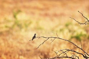 colibrì che si appollaia uccello trochilidae