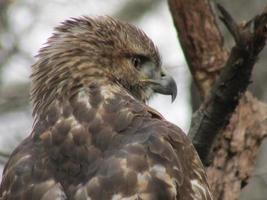 testa di falco coda rossa di profilo