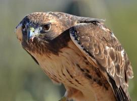 falco coda rossa (buteo jamaicensis)