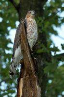falco di Cooper