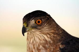 falco acuto (accipiter striatus) foto