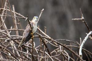 Hawk-cuculo foto