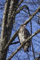 falco su un ramo di un albero al sole