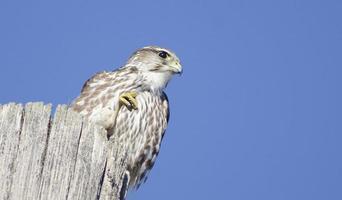 falco merlot