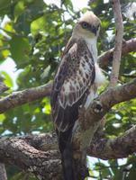 aquila di falco crestata (mutevole) giovanile appollaiata su un albero foto
