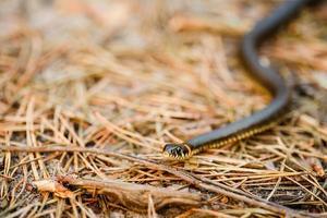 erba-serpente, vipera all'inizio della primavera