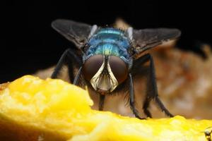 mosca domestica foto