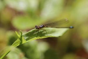 mosca del drago a macroistruzione foto
