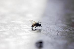 mosca dell'insetto domestica foto