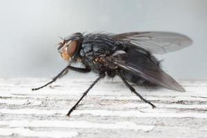 colpo a macroistruzione di un blowfly dal lato. foto