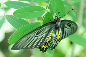 birdwing dorato foto