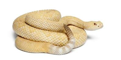 serpente a sonagli western diamondback albinos - crotalus atrox, velenoso, sfondo bianco foto