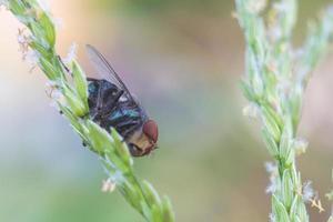 la mosca comune (musca domestica)