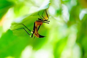 zanzara della malaria sotto la foglia verde